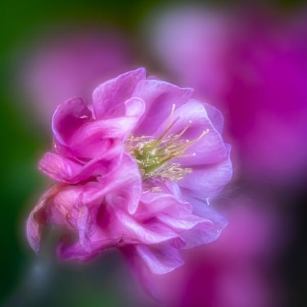 Velvet Flower by johnp