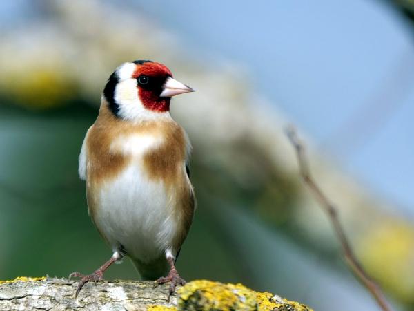 Goldfinch in the garden today. by DerekHollis