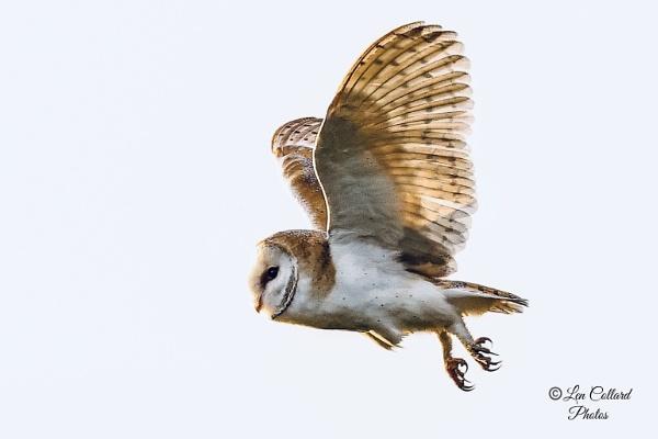 Female Barn owl by Lencollard