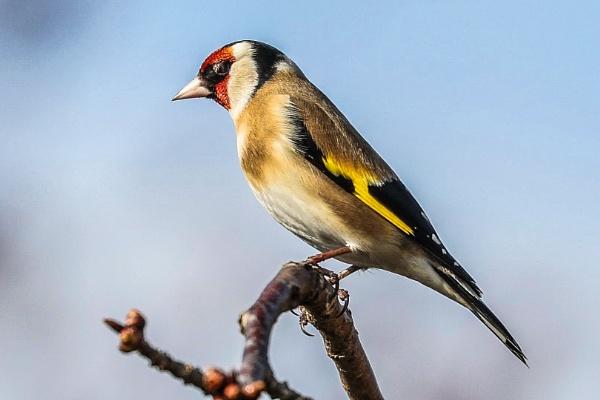 Goldfinch by Lencollard