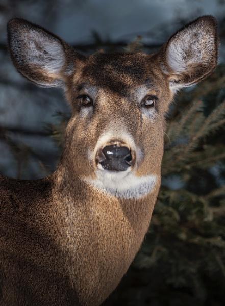 Oh deer! by Alain