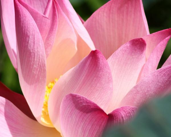 Sacred Lotus, Nelumbo nucifera. by mikekay