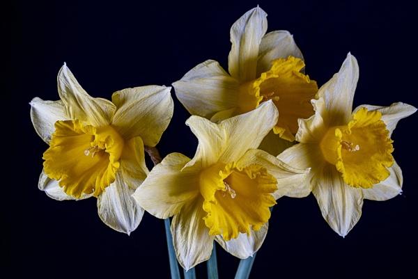 Daffodils by kip55