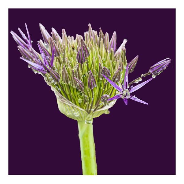 Alium on Purple by Bore07TM