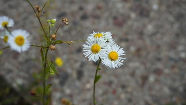 3 daisy flowers by SauliusR