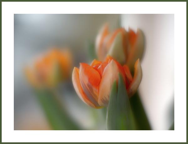Orange Tulips by kw