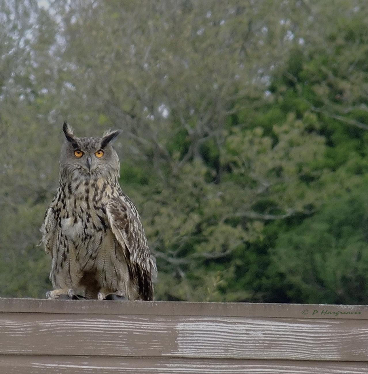 eage owl