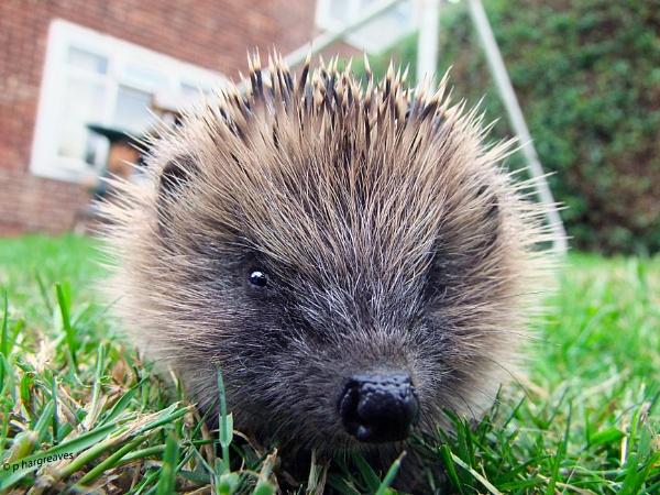 hedgehog by snookerball