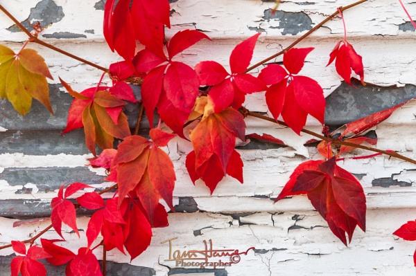 Autumn leaves by IainHamer