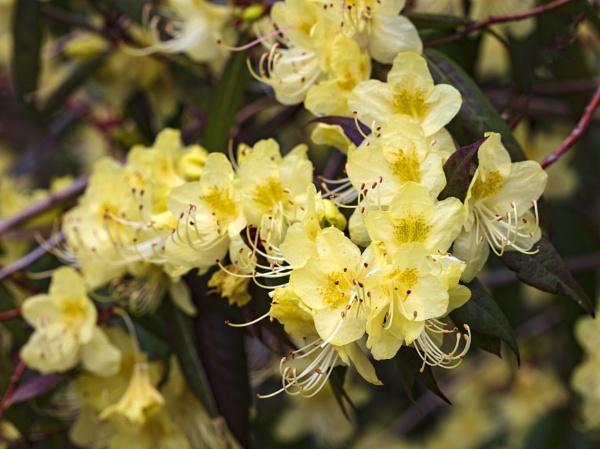 Rhododendron Westonbirt Arboretum - Gloucestershire by VincentChristopher