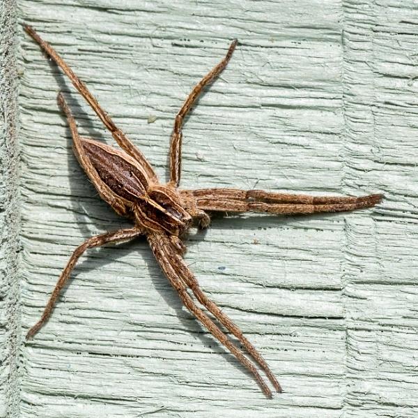 Nursery Web Spider by lagomorphhunter