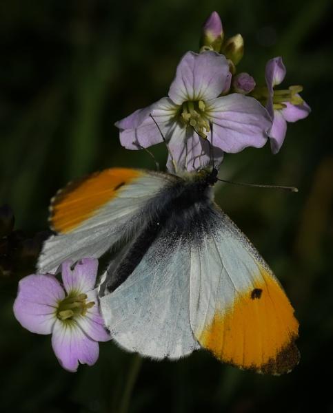 Male Orangetip on Ladies Smock flower by nicholl