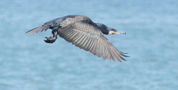 Cormorant in flight by nicholl