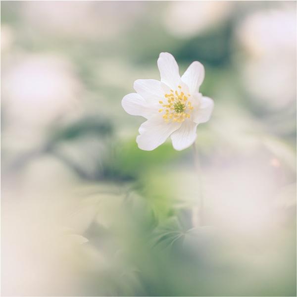 13/52: White Wood Anemone by sherlob