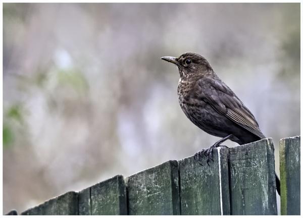 Female Blackbird by davidgibson