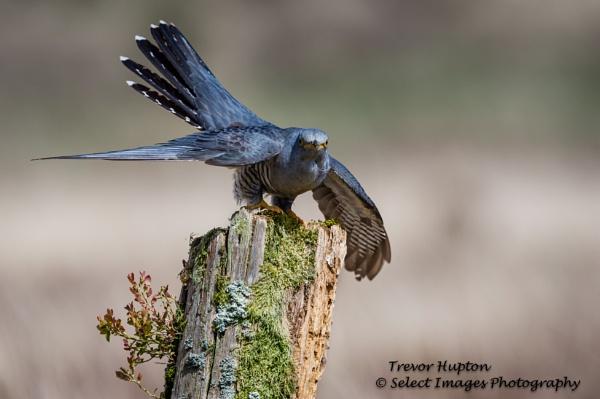 Male Cuckoo by running_man