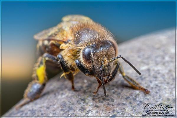 Honey Bee by Paul_Iddon