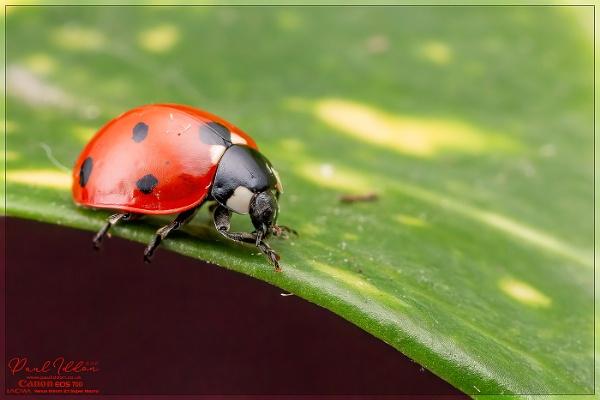 Ladybird by Paul_Iddon