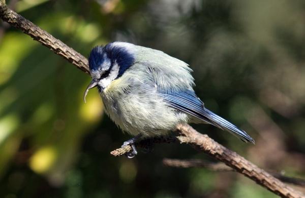 Blue tit with beak problem by oldgreyheron