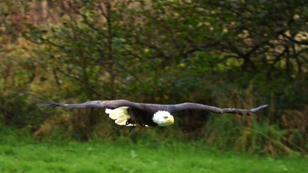 Bald Eagle in flight by elmer1