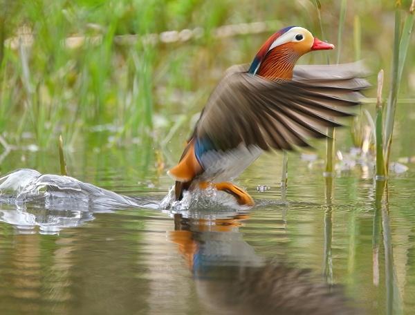 mandarin ducks by colin beeley