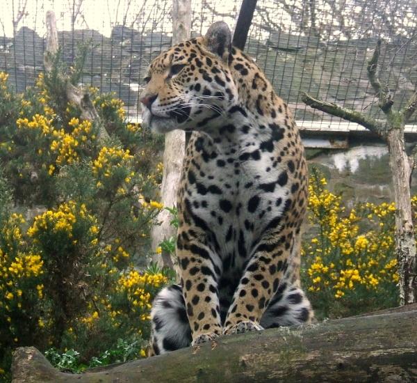 Jaguar by Hamsher67