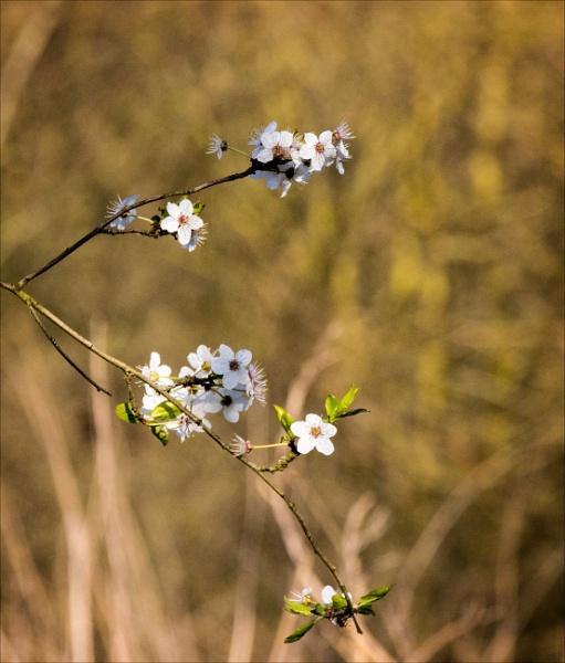 Blackthorn blossom by rambler