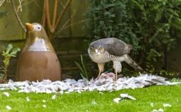 Sparrowhawk in my garden!