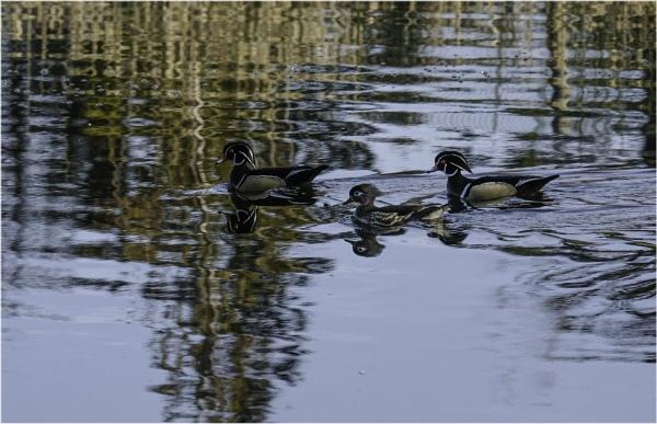 Wood Ducks by Daisymaye