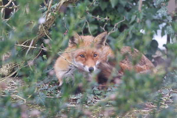 Sleepy Fox by ImageProducer