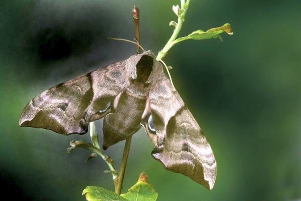 Eyed hawk Moth by TonyDy