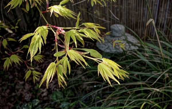 Acer new growth by nclark