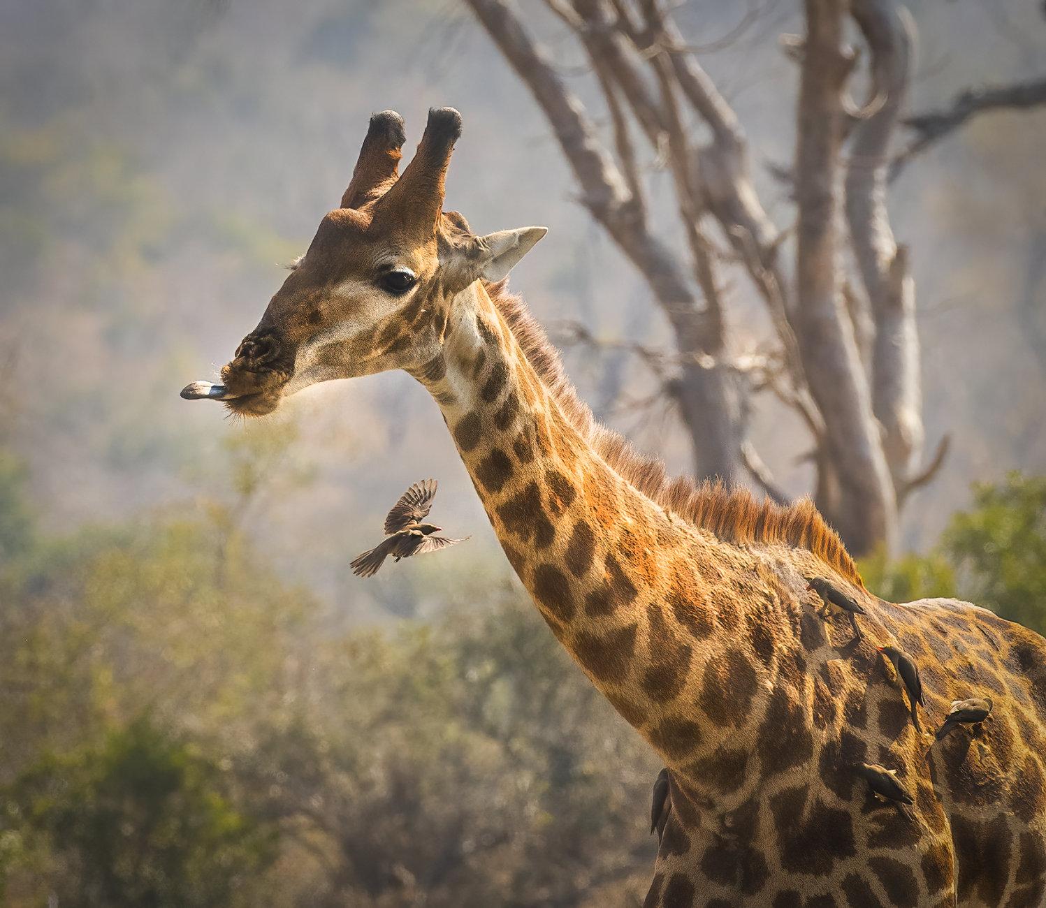 African icon, Giraffe or Oxpecker