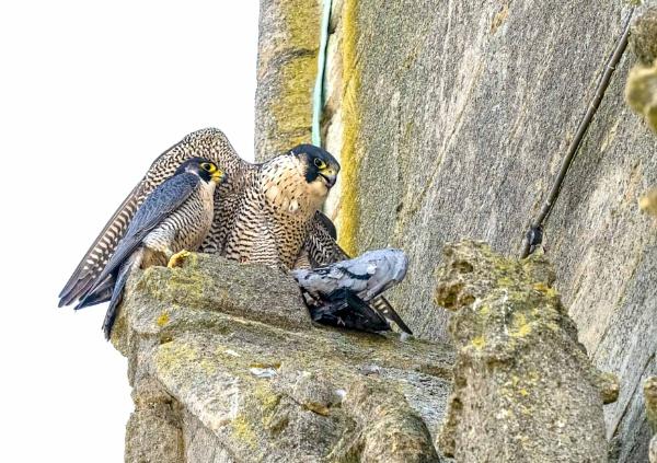 Peregrine (Falco peregrinus) by Ray_Seagrove