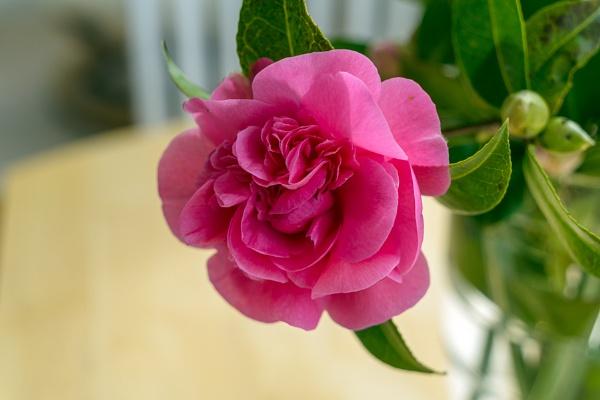 Pink Camellia flower in full bloom in springtime by Phil_Bird