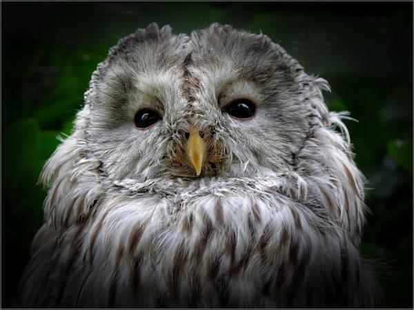 Ural Owl (3) by PhilT2