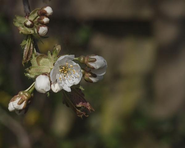 Hello Blossom by bobby55