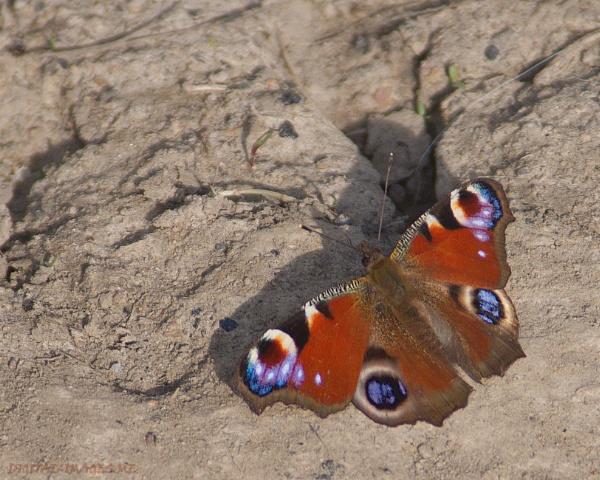 Peacock by Alan_Baseley