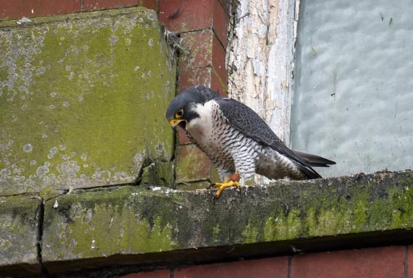Peregrine Falcon by jasonrwl