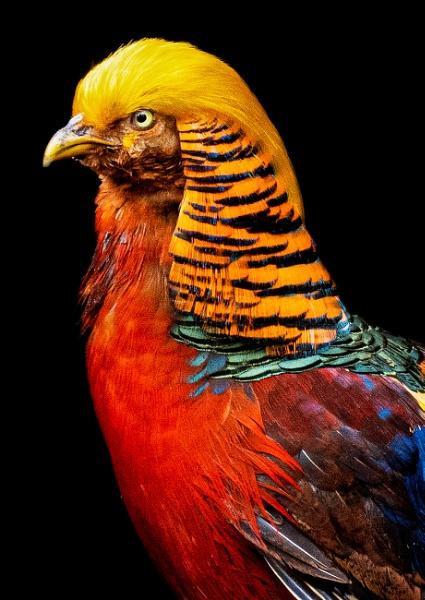 Donald the pheasants portrait by Steinmachine
