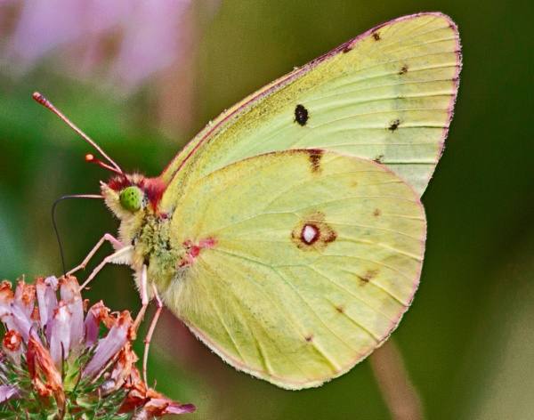 A Pink Edged Sulphur (Colias interior)  (best viewed large) by gconant