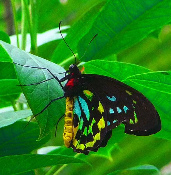 A Male Cairn\'s Birdwing (Ornithoptera euphorion) by gconant