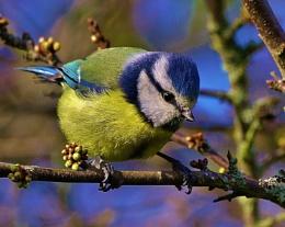 Blue Tit.