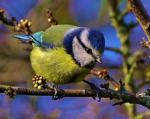 Blue Tit. by georgiepoolie