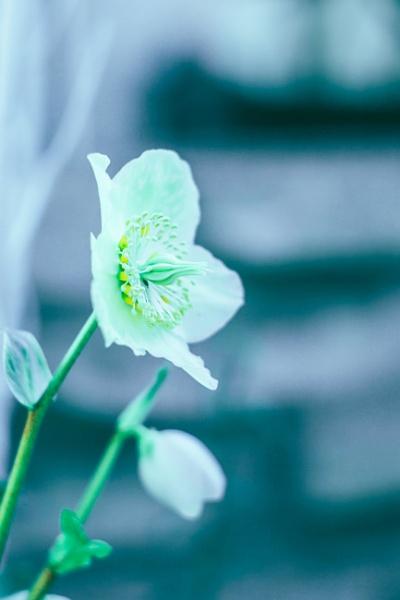 White Flower by manicam
