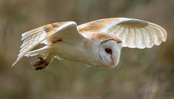Barn Owl by louie1st