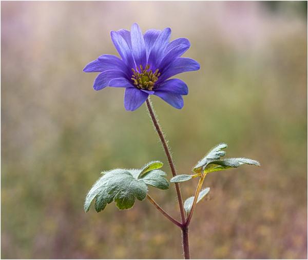 Anemone Blanda by capto