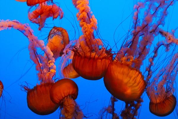 Jellyfish in Monterey Aquarium by comuirgheasa