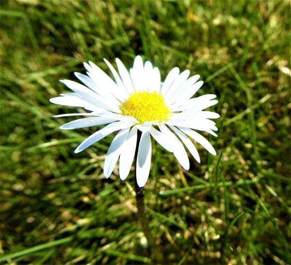 daisy by jenny007