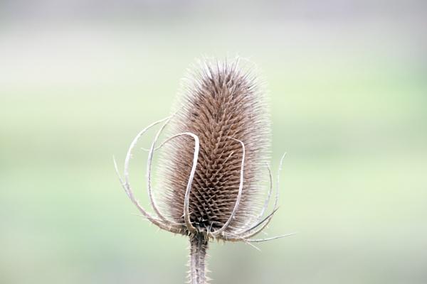 Reed Seed Head by jimobee